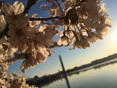 IMG_4159 (francesxcabrini) Tags: cherry blossoms cherryblossoms washingtondc flowers sunrise jeffersonmemorial washingtonmonument tidalbasin