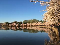 IMG_4182 (francesxcabrini) Tags: cherry blossoms cherryblossoms washingtondc flowers sunrise jeffersonmemorial washingtonmonument tidalbasin