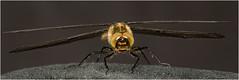 Libelle (robert.pechmann) Tags: libelle makro macro insekt robert pechmann