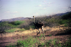 78-010 (ndpa / s. lundeen, archivist) Tags: nick dewolf color photograph photographbynickdewolf 1976 1970s film 35mm 77 reel77 africa northernafrica northeastafrica african ethiopia ethiopian centralethiopia southwesternethiopia southernethiopia bird ostrich run running landscape terain sky bluesky hills mountains