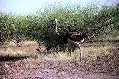78-012 (ndpa / s. lundeen, archivist) Tags: nick dewolf color photograph photographbynickdewolf 1976 1970s film 35mm 77 reel77 africa northernafrica northeastafrica african ethiopia ethiopian centralethiopia southwesternethiopia southernethiopia bird ostrich run running landscape terain brush thicket