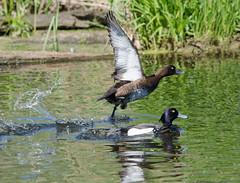 Хохлатая чернеть - Aythya fuligula - Tufted duck (SvetlanaJessy) Tags: природа птицы хохлатаячернеть bird birds aythyafuligula tuftedduck