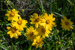 Little River Canyon Preserve Canyon View overlook Lanceleaf coreopsis 05-06-2019 (Jerry's Wild Life) Tags: alabama alabamawildflower canyonviewoverlook coreopsislanceolata lanceleafcoreopsis littlerivercanyon littlerivercanyonpreserve coreopsis