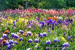 Floral Wonderland (Gary Grossman) Tags: flowers garden spring oregon northwest willamette morning brooks columbine iris poppy lush green rebirth landscape garygrossman garygrossmanphotography landscapephotography willamettevalley pacificnorthwest earlymornng schreinersirisgarden
