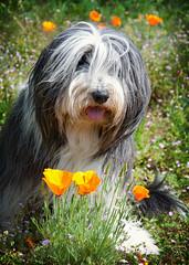 Fly et les pavots... (.Sophie C.) Tags: fly hellsbellsdesbergersdes1001nuits beardedcollie beardy chien dansmonjardin pavotdecalifornie