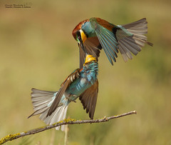 Abejaruco europeo o abejaruco común (Merops apiaster) (leoncio.hernandezrodriguez) Tags: abejarucoeuropeo oabejarucocomúnmeropsapiaster sevilla andalucía españa