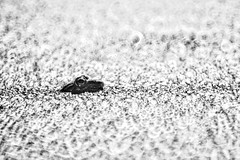 Leopard Frog in Black and white (Bcpix.com) Tags: frog catlens mirrorlens sigma66 bokeh monochrome