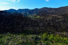 alberi bruciati sui monti Pisani.2019 (Alessandrocosci1) Tags: nature landscape montipisani alberi