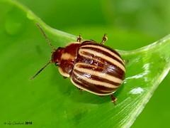 leaf beetle (LPJC) Tags: gamboa panama 2018 lpjc leafbeetle
