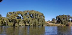 Willows along the river (Rckr88) Tags: vanderbijlpark southafrica south africa willows along river willowsalongtheriver willow rivers water vaal vaalriver tree trees nature outdoors travel