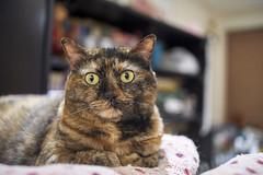 A9__DSC0049_C1 (Bazoka+Cynthia) Tags: cat hani 小婆 新北市 樹林區 貓