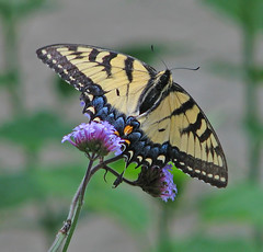 lady Tiger on tall verbena (Vicki's Nature) Tags: tigerswallowtail female big butterfly yellow stripes purple tallverbena flowers yard georgia vickisnature canon s5 4635