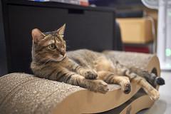 A9__DSC0019_C1 (Bazoka+Cynthia) Tags: cat 小婆 新北市 樹林區 貓 鼻孔