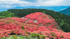 一目百万本 (hike_yuzu) Tags: 葛城山 ツツジ 山 花 奈良