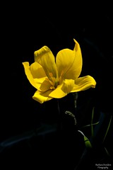 Flowers grow out of Dark Moments (barbara_donders) Tags: natuur nature yellow geel flower bloem dark donker spring lente macro dof mooi prachtig beautiful magisch magical