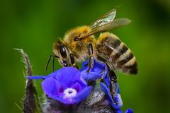 Biene (K&S-Fotografie) Tags: flower insect honeybee pollen blossom spring white flora closeup park plant pollination