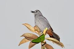 Gray Catbird (jt893x) Tags: 150600mm bird catbird d500 dumetellacarolinensis graycatbird jt893x nikon nikond500 sigma sigma150600mmf563dgoshsms songbird alittlebeauty coth thesunshinegroup coth5 sunrays5 ngc