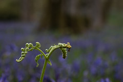 Fern Spider (jasty78) Tags: bluebells kinclavenforest bokeh macro dof fern spider insect perth spring forest landscape outside trees nature blue purple green scotland nikond810 35mm sigma35mm sigma35mmf14