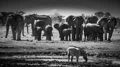 "Namibia - Etosha ""The last drink before they come"" (Julien O'Farley) Tags: animaux elephant etosha namibie zebras waterhole wildlife géographie pays sujets zèbres animals wildanimals elefant olifants"