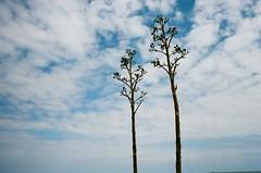 MIAMI canon ae-1 ektar 100 (Beum Billions) Tags: analog 35mm film miami beach trees sky clouds blue sunny sunlight canon ae1 kodak ektar 100 iso100