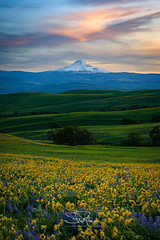 Wildflower Sunset (TierraCosmos) Tags: columbiahills mounthood mountain wildflowers flowers balsamroot lupine hills sunset clouds landscape scenic colorfulsunset sky washington columbiarivergorge