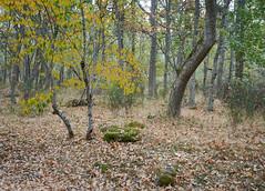 Leaping Yellow (I) (Modesto Vega) Tags: nikon nikond600 d600 fullframe autumn tree bendedtree leaves leaffall lagranjadesanildefonso nature landscape forest