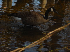 DSCN9623 (tombrewster6154) Tags: bog garden pond greensboro northcarolina early spring 2019 late march mmxix tuesday pretty reflections afternoon feathers duck swimming beek mouth dark eye digital camera picture photograph photography trees
