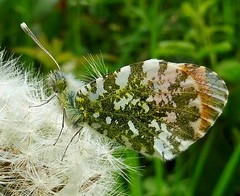 Orange Tip Butterfly (Marc Whitlock) Tags: butterfly orange tip dandilion insect