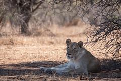 Löwin (Just_Maze) Tags: afrika africa südafrika southafrica lion löwe löwin kruger nationalpark wildlife
