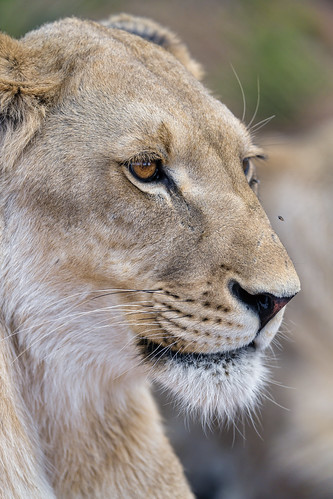Semi-profile of a lioness