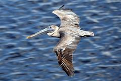 Fish Finder (yyzgvi) Tags: brown pelican havana cuba