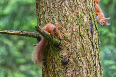 Red Squirrels (Margaret S.S) Tags: red squirrels tree wood bark
