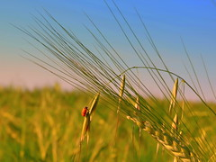 L'arrampicata (Corbelli Massimo) Tags: natura insetti grano