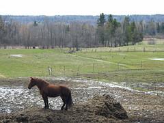 Queen of the hay mound at Élevage Fabie in Quyon, Quebec (Ullysses) Tags: quyon quebec canada spring printemps pontiac pontiaccounty horse horses cheveau élevagefabie mare