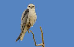 lagoon creek - black-shouldered kite (Fat Burns ☮) Tags: blackshoulderedkite elanusaxillaris raptor kite bird australianbird fauna australianfauna wildlife australianwildlife nikond500 nikon200500mmf56eedvr lagooncreek barcaldine queensland australia lagooncreekbarcaldine qld