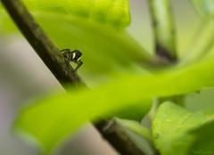 Mimetism (Traezh) Tags: saltique spider araignée jardin garden macro 5dsr arachnide petit little minuscule