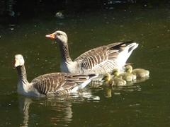 Sticking close to mum and dad (JuliaC2006) Tags: bird gosling greylag goose anseranser