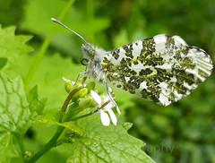 Orange-tip, Anthocharis cardamines (7) (Geckoo76) Tags: insect orangetip anthochariscardamines butterfly