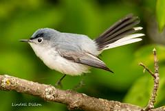 Blue-gray Gnatcatcher (Lindell Dillon) Tags: bluegraygnatcatcher neotropical birds birding nature oklahoma crosstimbers