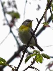 Northern Parula Warbler (Keith Chamberlin) Tags: northern parula warbler ashland nh