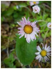 daisy (Gi8SKN) Tags: daisy wildflower gi8skn cameraphone ireland carrickfergus samsung galaxy s7 antrim
