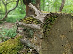 Uprooted (Mellisapix) Tags: woody decomposing moss mosses rings uprooted roots felled woods woodland bark trunk tree