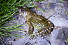 Common Frog (Rana temporaria) in my Garden - Willen 21May19 (kerrydavidtaylor) Tags: amphibian reptilia