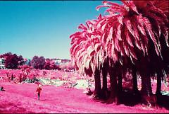 dolores park. (shoegazer.) Tags: kodak eir kodakeir 35mm film pentax k1000 dolorespark missiondistrict sanfrancisco california palmtrees sky analogphotography