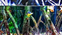 Mangrove swamp (gerard eder) Tags: world travel reise viajes europa europe españa spain spanien valencia acuario aquarium fish mangrove mangroveswamp underwater oceanografico natur nature naturaleza wasser water