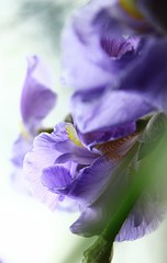 Iris: the poetics of nature (Gigliola Spaziano) Tags: natura fiori