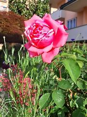 #fiori (martinafuggini) Tags: fiori