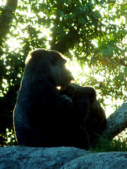 Gorilla (arlinescottphotography.com) Tags: arlinescottphotography world famous san diego zoo socal 2004 vacation sea lion keeper wolf howl great horned owl asian elephant arlene giraffe zebra polar bear rock giant panda gorilla animal mammal pinniped predator land