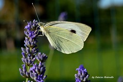 Lunchtime .... Lavender & cabbage butterfly (Pieris brassicae) (Patrizia Bertorello) Tags: lavender butterfly flower insect latin