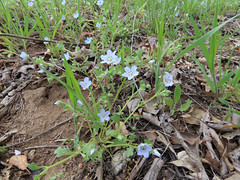Baby Blue Eyes (Boraginaceae, Nemophila menziesii) (aking1) Tags: babyblueeyes boraginaceae nemophilamenziesii places ranchocuyamacastatepark descanso california unitedstatesofamerica
